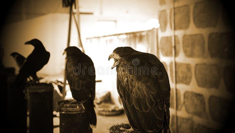 狂放的老鹰猎鹰训练术 免版税库存图片