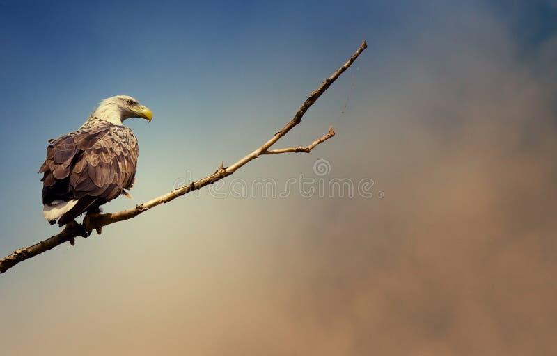 狂放的自然老鹰阿斯特拉罕俄罗斯树 免版税图库摄影