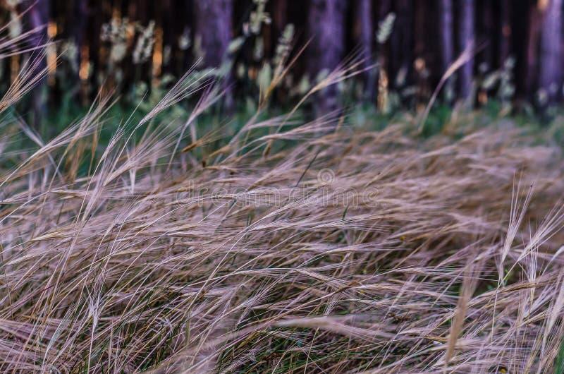 狂放的草本干燥黄色钉在夏天森林射击的背景的在底层的 天际不是可看见的 clos 库存图片