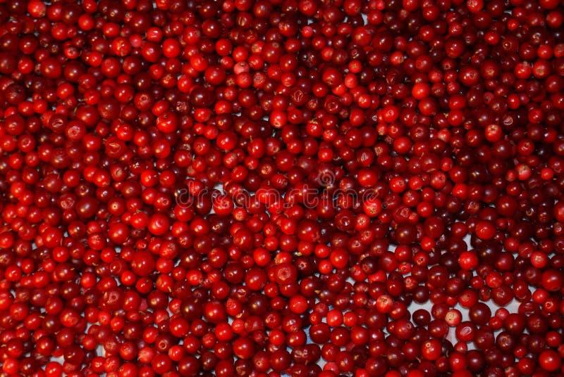 狂放的莓果蔓越桔 免版税库存图片