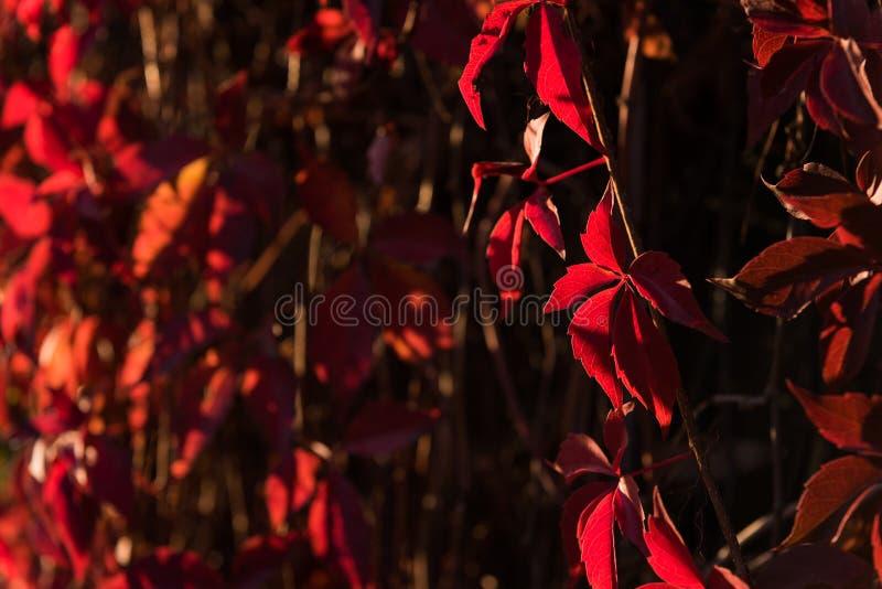 狂放的葡萄、自然秋天背景与生动的光和深树荫红色叶子  库存照片