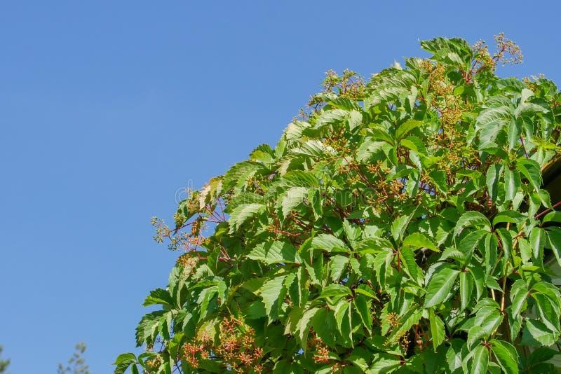狂放的葡萄丛林反对蓝色夏天天空的早晨 绿色叶子自然本底  图库摄影