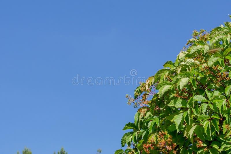 狂放的葡萄丛林反对蓝色夏天天空的早晨 绿色叶子自然本底  免版税库存图片