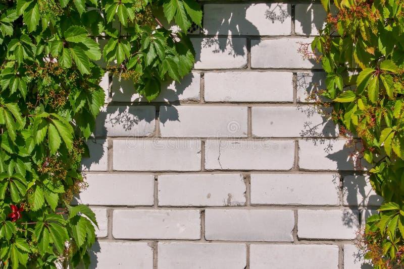 狂放的葡萄丛林在一个白色砖墙上的 绿色叶子自然本底  r 免版税库存照片