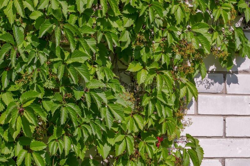 狂放的葡萄丛林在一个白色砖墙上的 绿色叶子自然本底  r 图库摄影