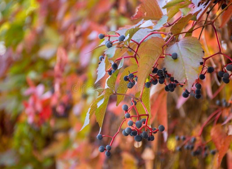 狂放的葡萄叶子在被弄脏的自然本底的 免版税库存图片