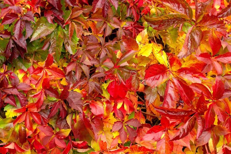 狂放的葡萄有红色叶子固体背景 库存照片