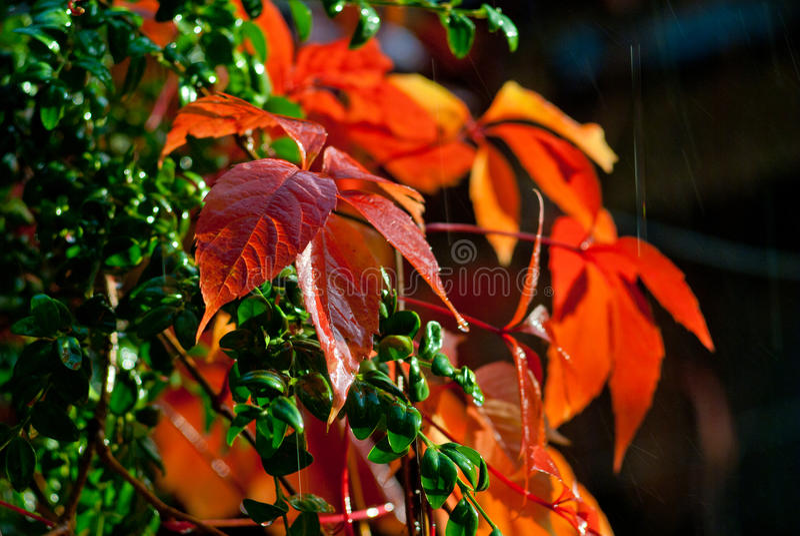 狂放的葡萄红色秋叶在黑暗的背景的 库存图片