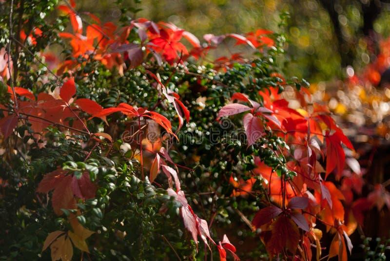 狂放的葡萄红色秋叶在绿色背景的 免版税库存图片