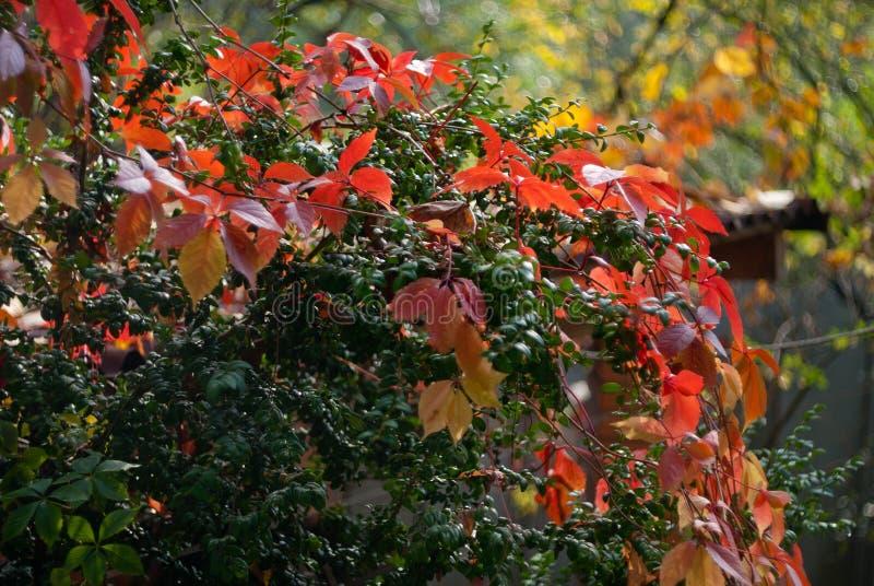 狂放的葡萄红色秋叶在绿色背景的 库存图片