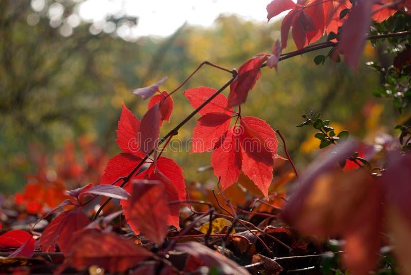 狂放的葡萄红色秋叶在绿色背景的 免版税图库摄影