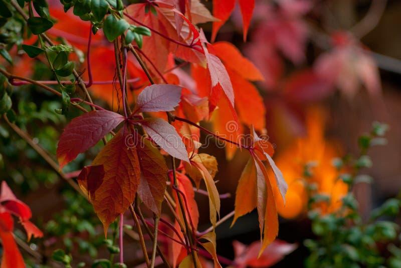 狂放的葡萄红色秋叶在绿色背景的 图库摄影