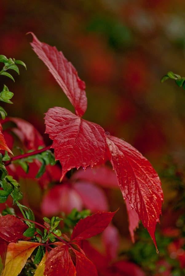 狂放的葡萄红色秋叶在bokeh背景的 库存照片