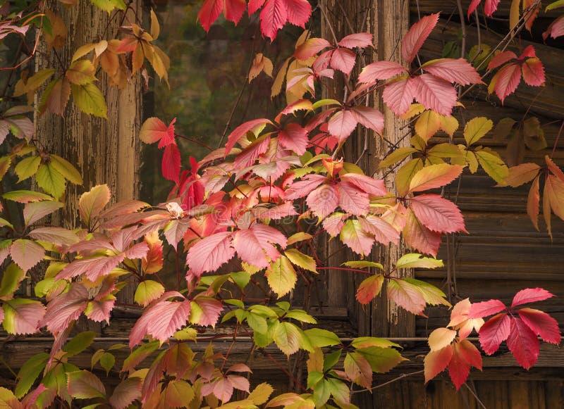 狂放的葡萄红色藤在窗口的 抽象背景 库存图片