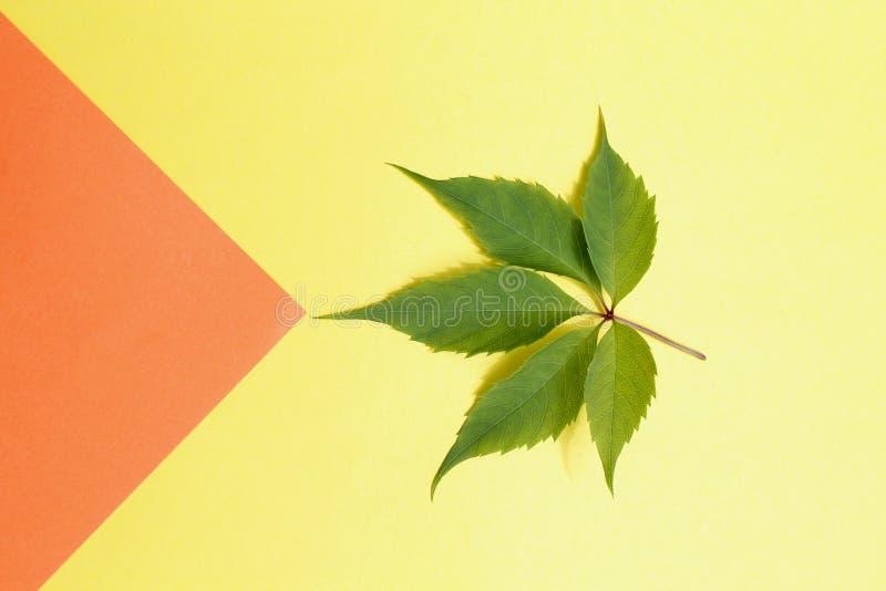 狂放的葡萄绿色叶子  库存图片
