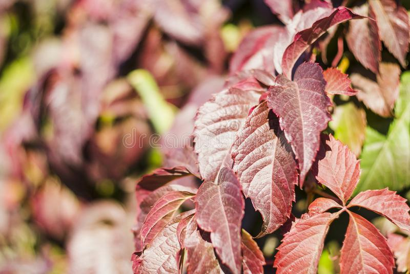 狂放的葡萄美丽的红色秋叶  免版税库存图片