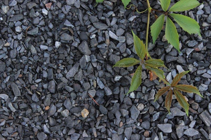 狂放的葡萄藤在瓦砾背景的  库存照片