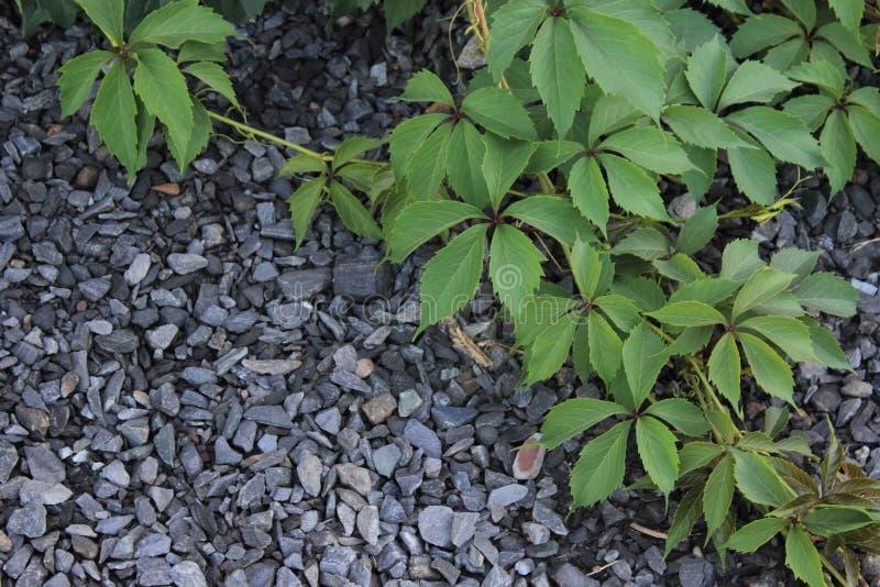 狂放的葡萄liyng藤在瓦砾的 免版税库存图片