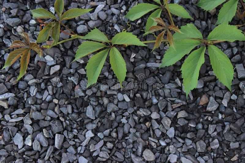 狂放的葡萄liyng藤在瓦砾背景的  免版税图库摄影
