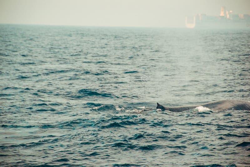 狂放的蓝鲸游泳在印度洋 野生生物自然背景 文本的空间 冒险旅游业 旅行游览 Mirissa, Sri 免版税库存照片