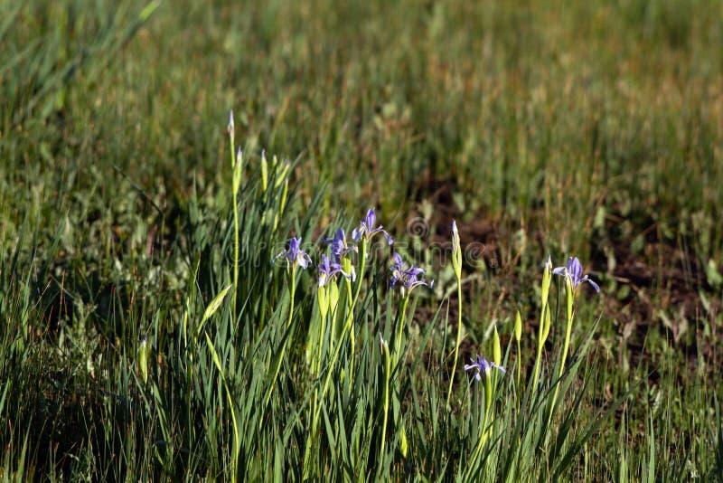 狂放的虹膜绽放在春天在Alamosa全国野生生物保护区的沼泽 免版税库存照片