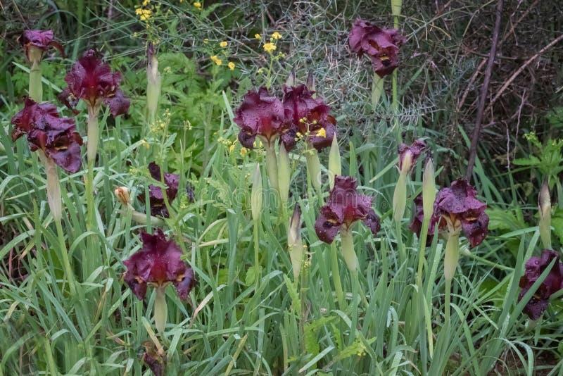 狂放的虹膜,虹膜atropurpurea,沿海虹膜 黑暗树荫,伯根地,对稍带黑的紫色的黑暗的紫色花从红褐色的 图库摄影