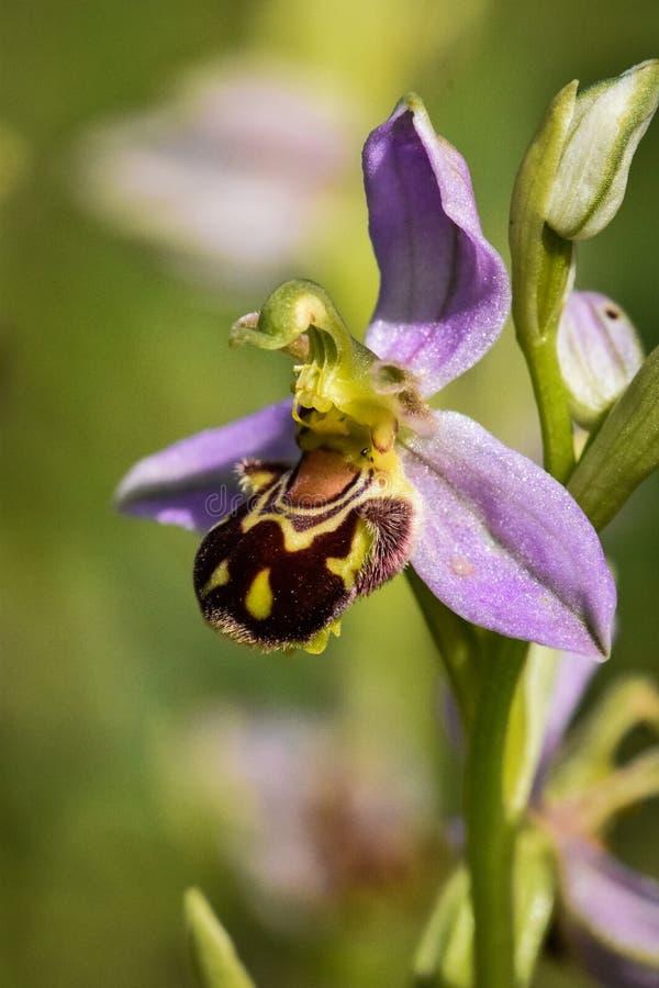 狂放的蜂兰花花Ophrys apifera 免版税库存图片
