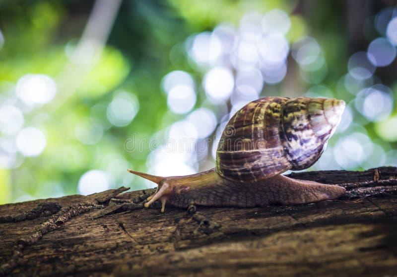 狂放的蜗牛, 免版税图库摄影
