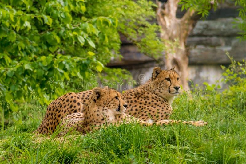 狂放的豹子黑色被加点的毛皮夫妇  图库摄影
