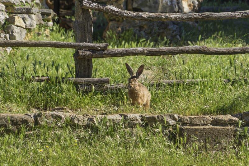 狂放的野兔在克罗地亚乡下 免版税库存图片