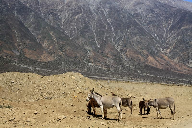 狂放的野生沙漠驴马属asinus牧群在贫瘠地形的在印象深刻的山面孔前面 库存图片