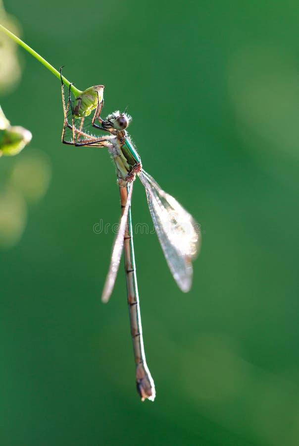 狂放的金黄灰色蜻蜓anax imperator Sympetrum Fonscolombii 免版税库存照片