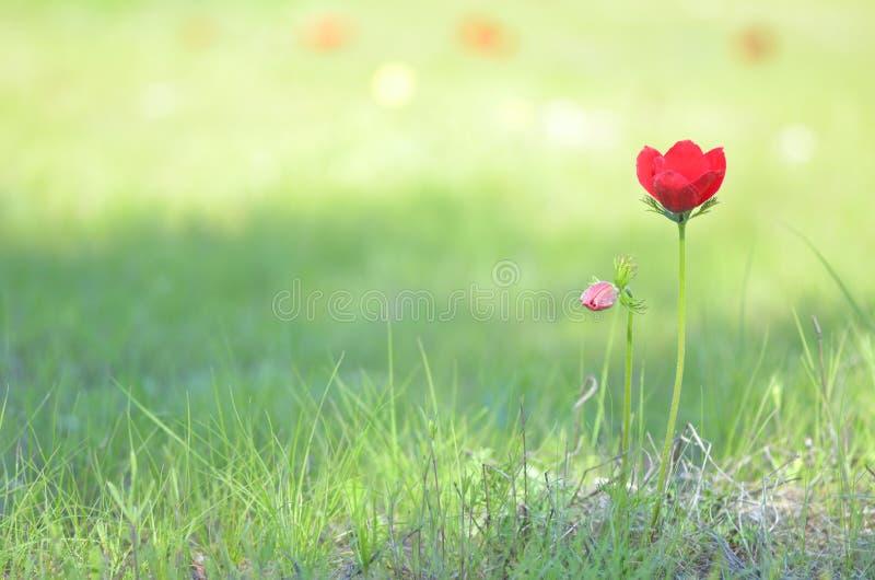 狂放的银莲花属花 免版税库存图片