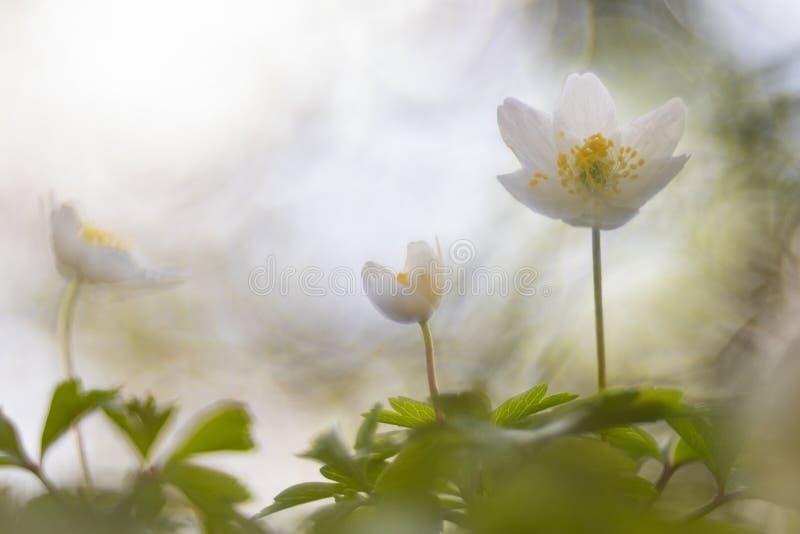 狂放的银莲花属银莲花属Nemorosa,这做我的春天 免版税库存照片