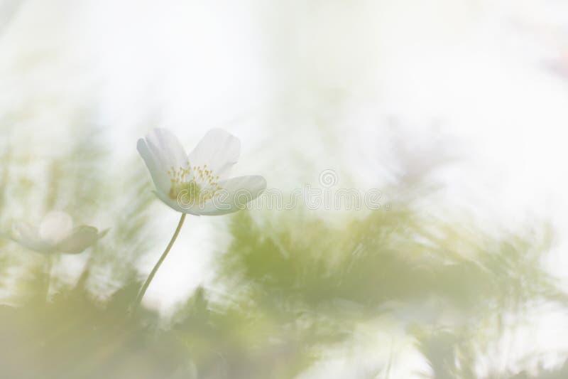 狂放的银莲花属银莲花属Nemorosa,这做我的春天 免版税库存图片