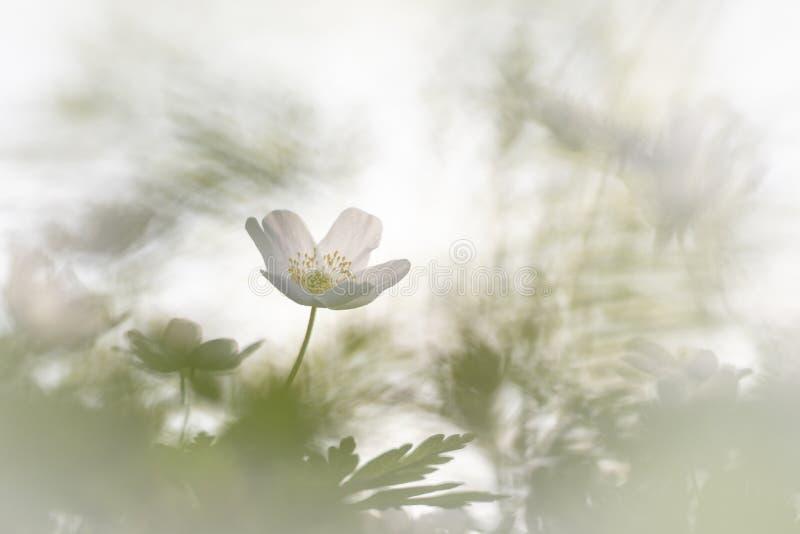 狂放的银莲花属银莲花属Nemorosa,这做我的春天 库存照片