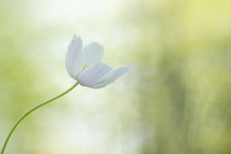 狂放的银莲花属银莲花属Nemorosa,这做我的春天 库存图片