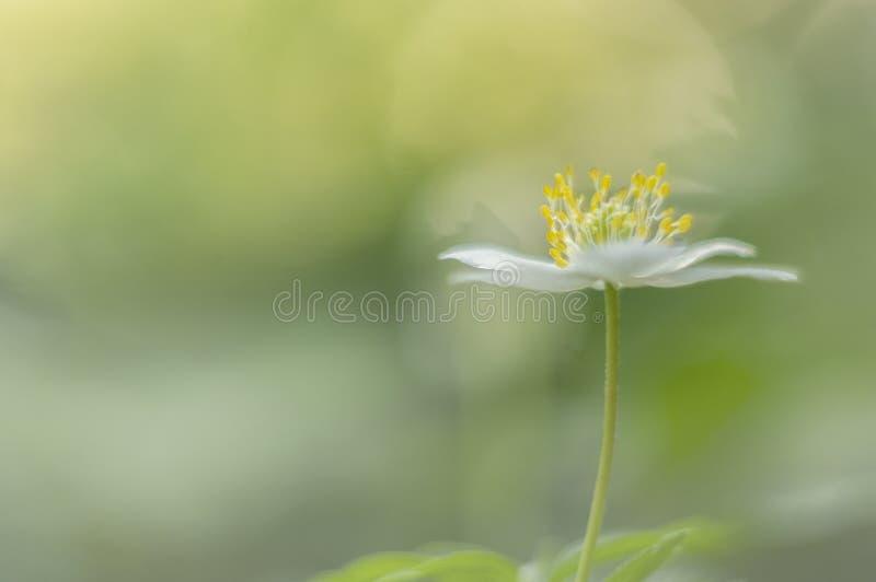 狂放的银莲花属银莲花属Nemorosa,这做我的春天 图库摄影