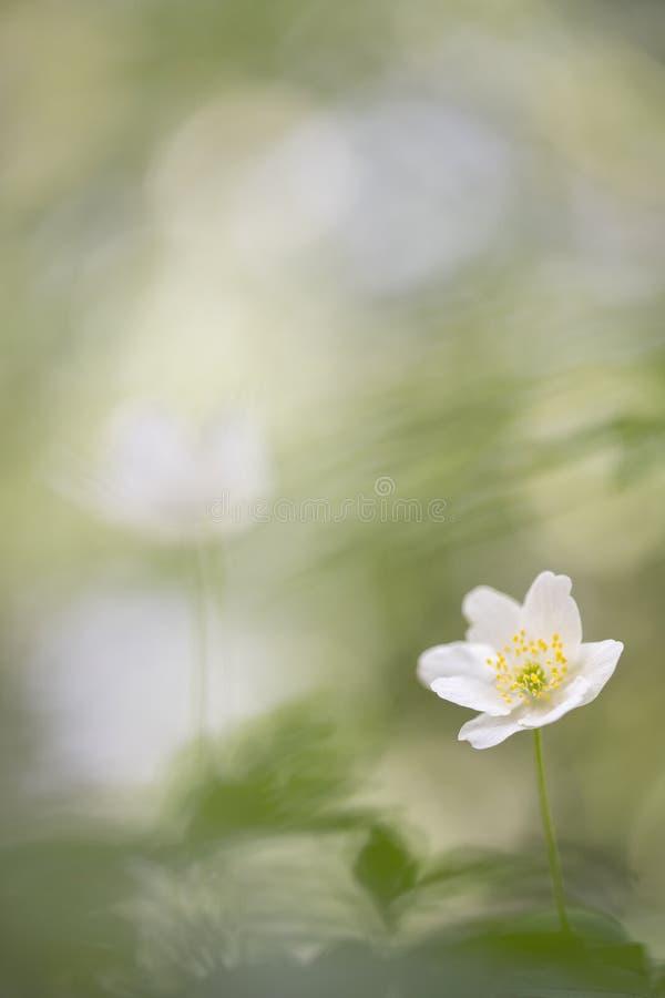 狂放的银莲花属-银莲花属Nemorosa拍摄了与一个宏观透镜 免版税库存图片