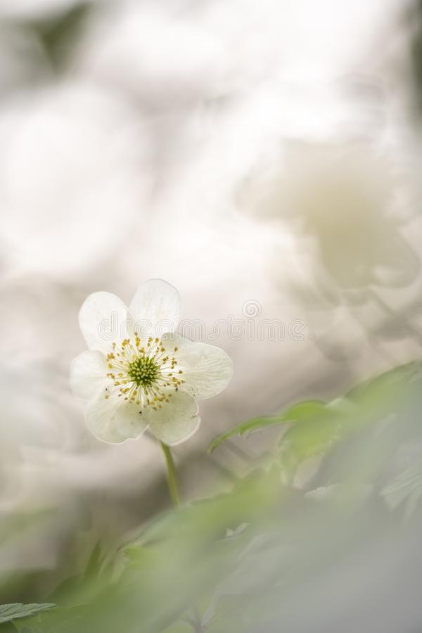 狂放的银莲花属-银莲花属Nemorosa拍摄了与一个宏观透镜 图库摄影