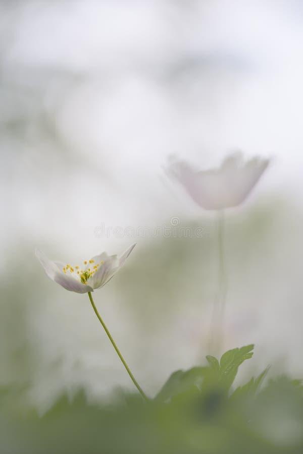 狂放的银莲花属-银莲花属Nemorosa拍摄了与一个宏观透镜 库存照片