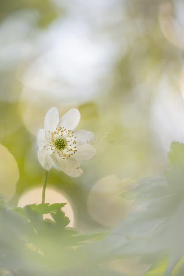 狂放的银莲花属-银莲花属Nemorosa拍摄了与葡萄酒透镜 图库摄影