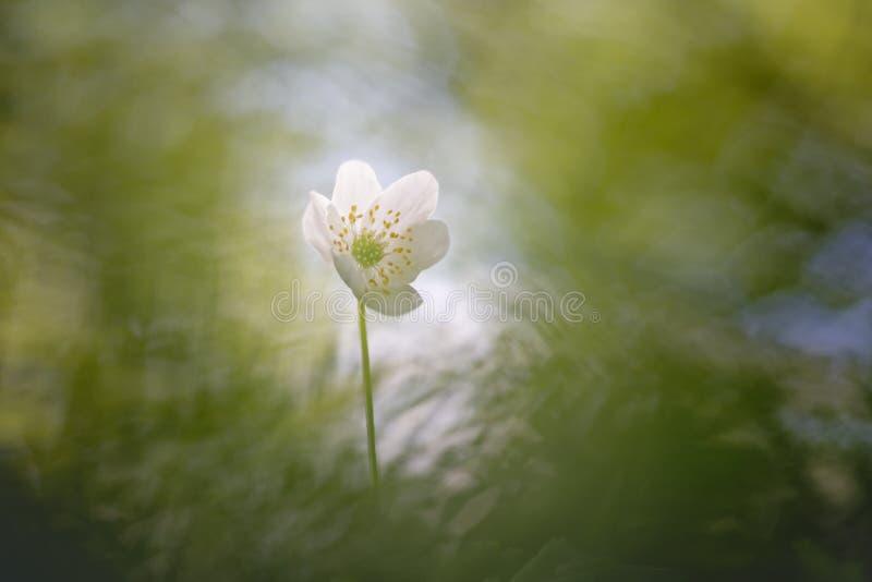 狂放的银莲花属-银莲花属Nemorosa拍摄了与葡萄酒透镜 免版税库存照片