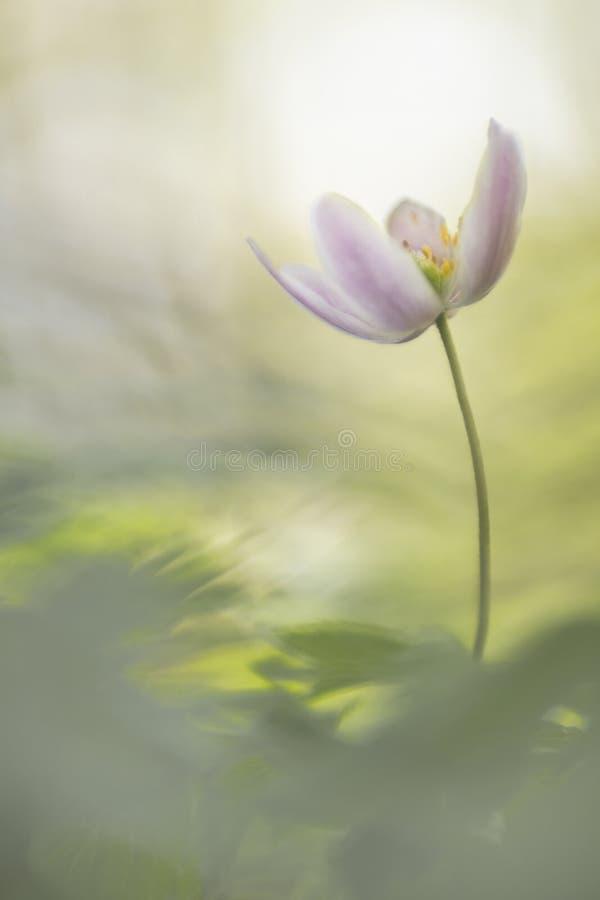 狂放的银莲花属-银莲花属Nemorosa,其中一朵最美丽的春天花 图库摄影