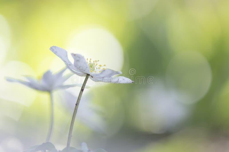 狂放的银莲花属-银莲花属nemorosa 免版税库存图片