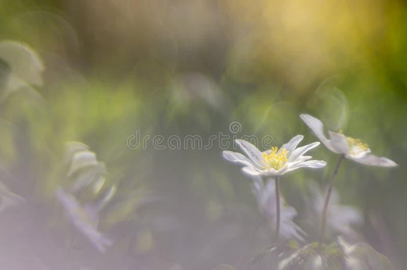 狂放的银莲花属-银莲花属nemorosa 免版税图库摄影