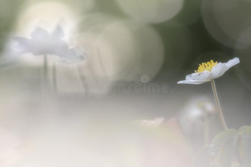 狂放的银莲花属-银莲花属nemorosa 库存图片