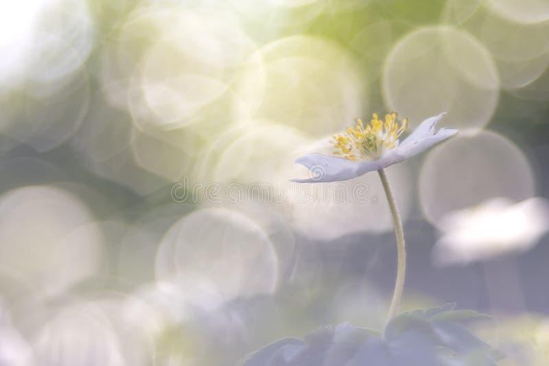 狂放的银莲花属-银莲花属nemorosa 免版税库存照片