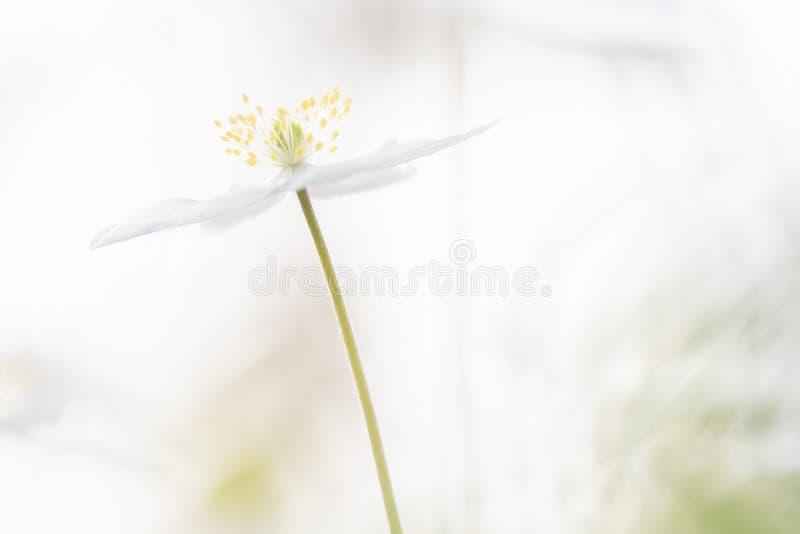 狂放的银莲花属-银莲花属nemorosa 库存照片