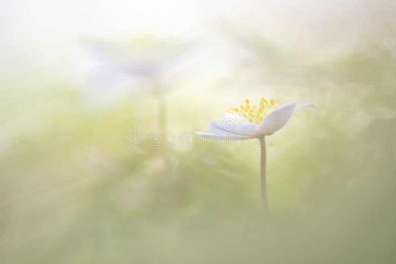 狂放的银莲花属-银莲花属nemorosa 图库摄影
